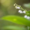 スズラン – 花